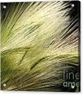 Hordeum Jubatum Grass Acrylic Print