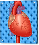Human Heart Acrylic Print