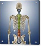 Human Skeleton, Artwork Acrylic Print