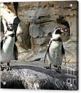 Humboldt Penguin Acrylic Print
