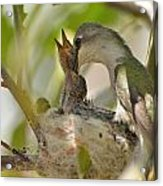 Hummingbird Babies Acrylic Print by Old Pueblo Photography