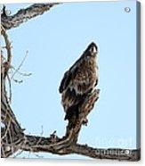 Immature Bald Eagle Acrylic Print
