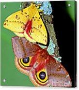 Io Moth Acrylic Print