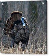 Jake Eastern Wild Turkey Acrylic Print