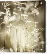 June Grass Flowering Acrylic Print