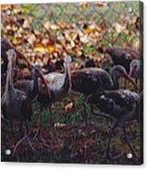 Juvenile Ibis Acrylic Print