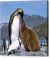 King Penguins Aptenodytes Patagonicus Acrylic Print by Hans Reinhard