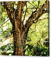 Kingdom Of The Trees. Peradeniya Botanical Garden. Sri Lanka Acrylic Print