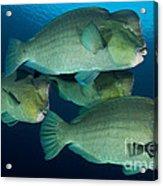 Large School Of Bumphead Parrotfish Acrylic Print