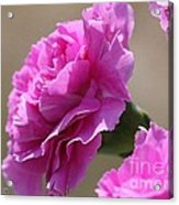 Lavender Carnations Acrylic Print