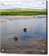 3-lay Of Land Grizzly Bears In Moraine River In Katmai National Preserve-ak Acrylic Print