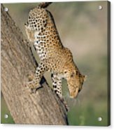 Leopard Panthera Pardus On Tree, Ndutu Acrylic Print