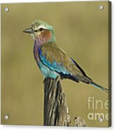 Lilac-breasted Roller Acrylic Print