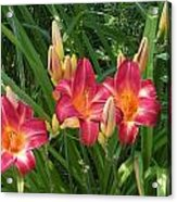 Three Lilies In A Row Acrylic Print