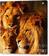 Lion Family Close Together Acrylic Print