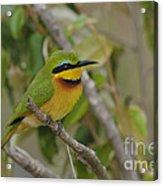 Little Bee-eater Acrylic Print