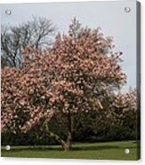 Magnolia Tree Acrylic Print