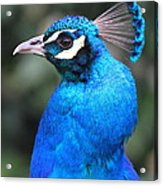 Male Peacock Acrylic Print