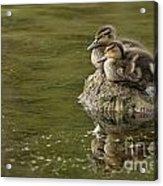 Mallard Duckling Acrylic Print