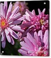 Marguerite Daisy Named Double Pink Acrylic Print