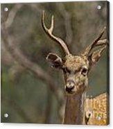 Mesopotamian Fallow Deer  Acrylic Print