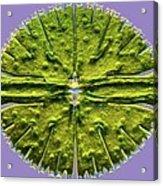 Micrasterias Desmid, Light Micrograph Acrylic Print