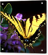 Monarch On Mountain Laurel Acrylic Print