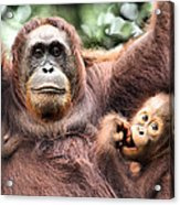Mother And Baby Orangutan Borneo Acrylic Print