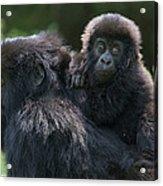 Mountain Gorilla And Infant  Acrylic Print