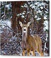 Mule Deer In Snow Acrylic Print