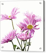 Mums Flowers Against White Background Acrylic Print