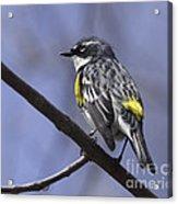 Myrtle Warbler Acrylic Print