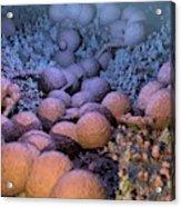 Neisseria Gonorrhoeae Bacteria Acrylic Print