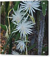 Night Blooming Cactus Acrylic Print