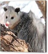 North American Opossum In Winter Acrylic Print