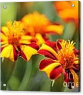 Novelty French Marigold Named Mr. Majestic Acrylic Print