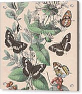 Nymphalidae Acrylic Print