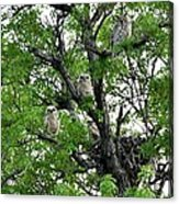 3 Owlets And Owl For Family Portrait Acrylic Print by Rebecca Adams
