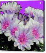 Painterly Cactus Flowers Acrylic Print