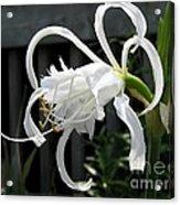 Peruvian Daffodil Named Advance Acrylic Print