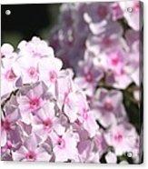 Phlox Paniculata Named Bright Eyes Acrylic Print