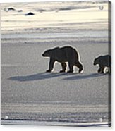 Polar Bear Mother And Cub Acrylic Print