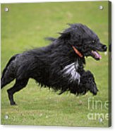Portuguese Water Dog Acrylic Print