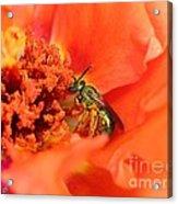 Portulaca Named Sundial Tangerine Acrylic Print
