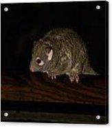 Possum Acrylic Print