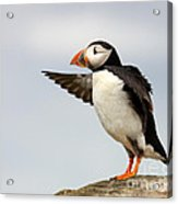 Puffin On The Farne Islands Great Britain Acrylic Print