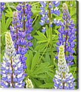 Purple Lupine Flowers Acrylic Print