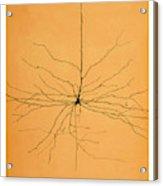 Pyramidal Cell In Cerebral Cortex, Cajal Acrylic Print
