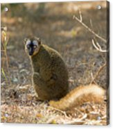Red-fronted Brown Lemur Acrylic Print