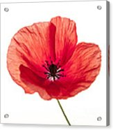 Red Poppy Flower Acrylic Print